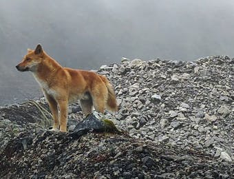 Penampakan Dingo, Anjing Purba Misterius Penjaga Puncak Carstensz
