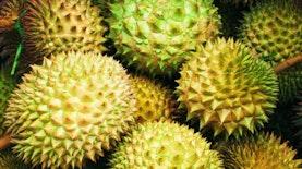 Meskipun Dikembangkan di Thailand, Bibit Asal Durian Montong Dari Indonesia