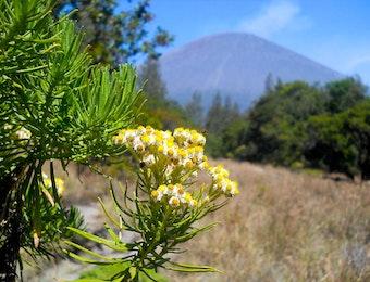 Keindahan Bunga Edelweis di Kawasan Gunung Bromo