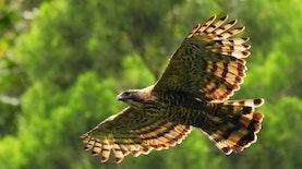 Burung Endemik Terancam Punah Ini Ditemukan Bersarang di TNGGP