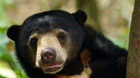 Sun Bear, Spesies Beruang Terkecil di Dunia yang Ada di Indonesia