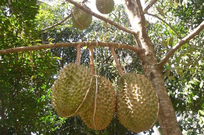 5 Kecamatan di Jawa Timur Ini Hasilkan Buah Durian Terbaik