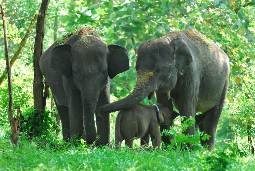 Anak Gajah Sumatera Lahir Lagi Di Barumun Nagari Good News From