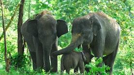 Anak Gajah Sumatera Lahir Lagi di Barumun Nagari