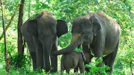 Fitri, Gajah Sumatra yang Lahir di Hari Lebaran