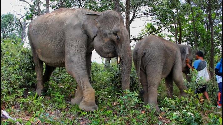 Kehidupan Gajah Sumatera di Barumun Nagari