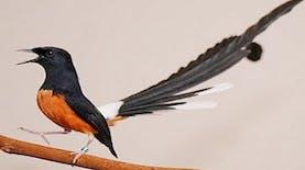 Terinspirasi Dari Nama Ibu Negara, Burung Ini Dinamai Iriana