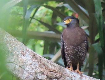 Bersenyawa dengan Kukila: Harmoni Hidup antara Manusia dengan Kukila di Hutan Kemuning