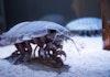 Bathynomus, Kecoak Laut Raksasa yang Hidup di Selat Sunda