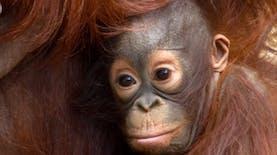 Di Tengah Pandemi Covid-19, Taman Safari Bogor Tambah Koleksi