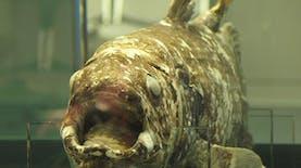 Sejarah Hari Ini (30 Juli 1998) - Nelayan Manado Tangkap Ikan Purba Coelacanth