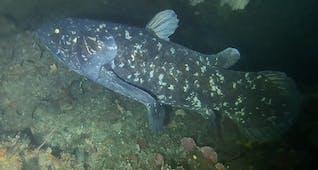 Sejarah Hari Ini (18 September 1997) - Ikan Coelacanth Pertama di Indonesia, Spesies Kedua di Dunia