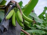 Gambar sampul Pisang Impor Lewat, Pisang Agung Semeru Lumajang Lebih Kaya Nutrisi