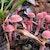 Kulat Pelawan, Jamur Truffle-nya Indonesia Asli Bangka