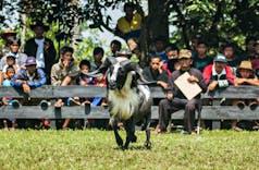 Sejarah Hari Ini (15 Agustus 2009) - Karnaval Domba Laga Terbanyak di Garut