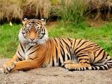Gambar sampul Harimau Sumatra Terekam Kamera di Habitat Alaminya