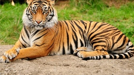 Harimau Sumatra Terekam Kamera di Habitat Alaminya