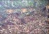 Harapan Baru pada Harimau Sumatera