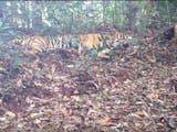 Gambar sampul Harapan Baru pada Harimau Sumatera