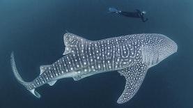 Mengenal Ikan Terbesar di Dunia, Sang Hantu Penghuni Perairan Indonesia