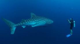 Pertama Kalinya, Kesehatan Populasi Ikan Terbesar di Dunia yang ada di Indonesia Diketahui