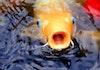 5 Ikan Hias Unik Ini Ternyata Asli dari Indonesia