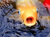 Gambar sampul 5 Ikan Hias Unik Ini Ternyata Asli dari Indonesia