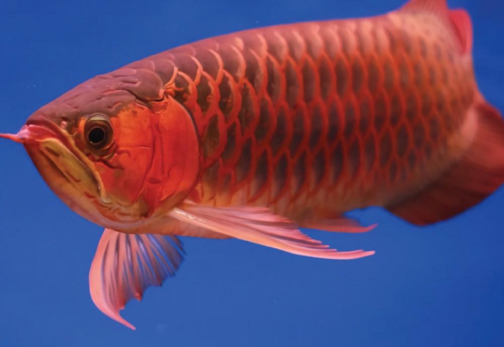 6500 Koleksi Gambar Keren Ikan Arwana HD