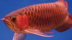 "Ikan Arwana ""Si Raja Ikan Hias"" Asli Indonesia"