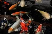 Mengenal Ikan Koi, Simbol Cinta dan Persahabatan