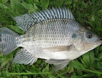 Ikan Mujair Ternyata Ditemukan Pertama Kali Oleh Pria Ini Loh