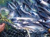 Gambar sampul 5 Ikan yang Biasa Di Budidayakan di Indonesia