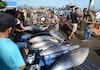 Lokasi Ternak Tuna Terbaik Dunia Ada di Indonesia