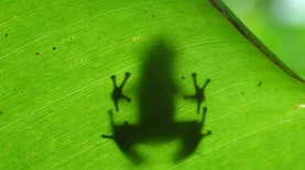 Ilmuwan Indonesia dan Katak Misterius dari Sulawesi
