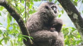 Owa Jawa: Si Cantik Karismatik Endemik Pulau Jawa