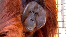 Orangutan Rehabilitasi di Kalteng Punya Habitat Baru