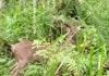 Rusa Timor Ini Kembali Hidup Bebas di Hutan Manusela