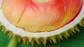 Warna-Warni Durian Pelangi Siap Rambah Pasar Luar Negeri