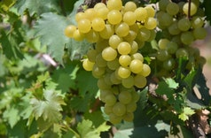 Yuk Kenalan dengan Jan Ethes SP1, Varietas Baru Anggur Indonesia
