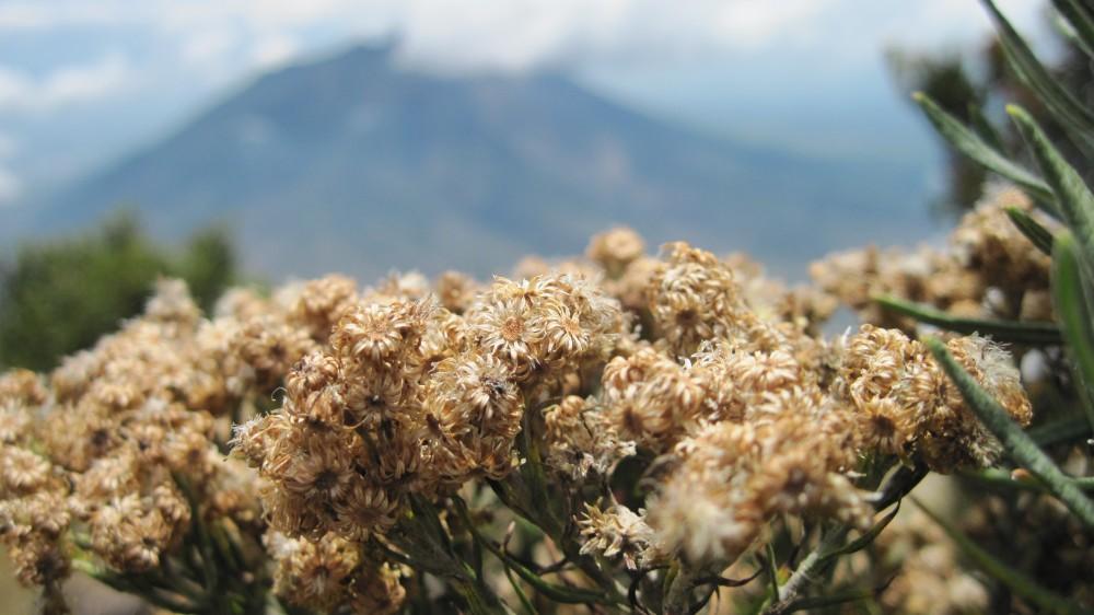 5 Gunung Dengan Ladang Edelweiss Di Indonesia Good News