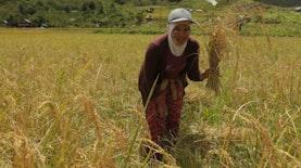 Mengenal Beras Hasil Pertanian Alami dari Seko