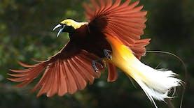 Indonesia, Rumah Terbesar bagi Burung Surga