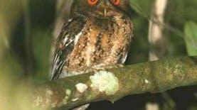 Ini dia Burung Hantu Endemik Pulau Jawa