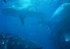 Menilik Potensi Wisata Hiu Paus di Sumbawa