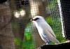 40 Ekor Jalak Bali Dilepasliarkan dari Bali Safari Park