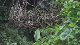 Jembatan Ini Terbuat Dari Akar Pohon
