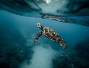 Indonesia, Rumah Bagi Penyu Laut, Spesies Langka Dunia