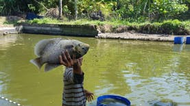 Ternak Ikan Gurame Menjadi Prospek Bisnis Menguntungkan