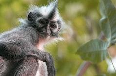 Kedih, Si Monyet Berjambul Asal Sumatera