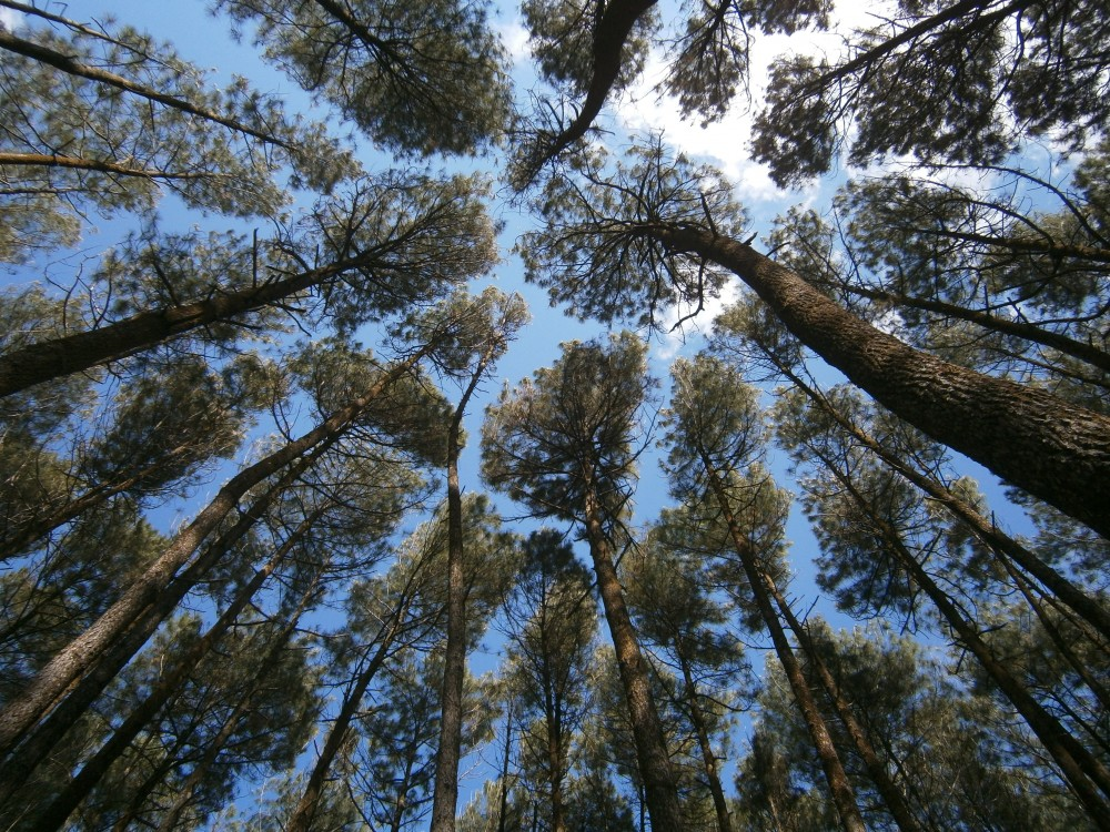 Image result for Pohon Pinus